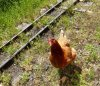 A fearless chicken by the railway line (she happily jumped into the carriages too!)